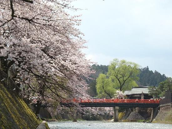 Takayama, Japan: 中橋と桜②