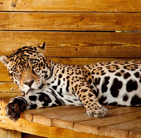 Panther Ridge Conservation Center: Jag Dad