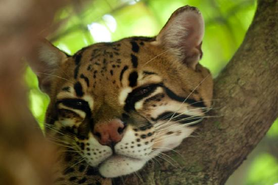 Panther Ridge Conservation Center: Ocelot