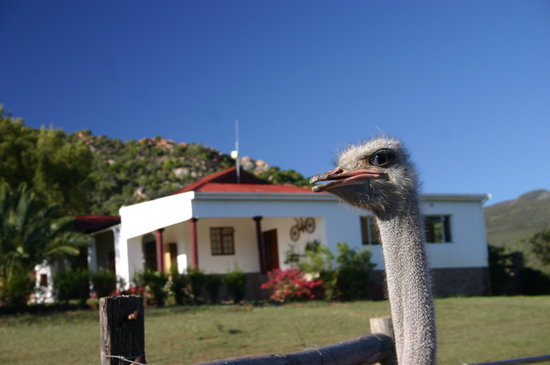 Carmens Guest House and Ostrich Farm: Strauß vor Farmhouse