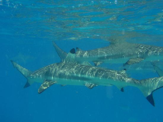 Liki Tiki Motu Picnic: Snorkeling with black tipped reef sharks