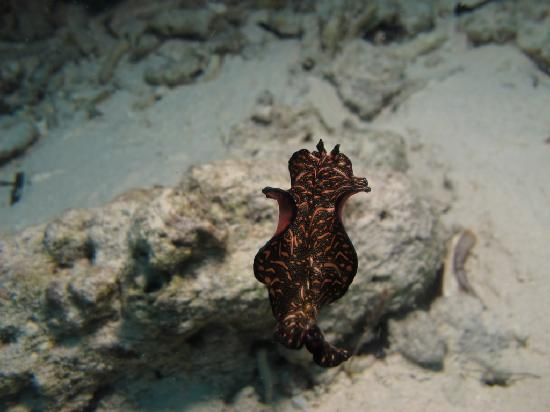 The Reef Dive Resort: Flat Worm