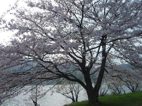 Lake Yogo: 遅咲きの桜がとても綺麗!