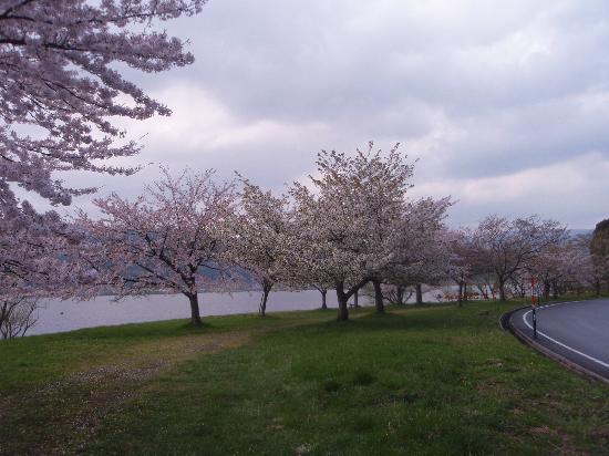Lake Yogo: まだ桜が楽しめた!