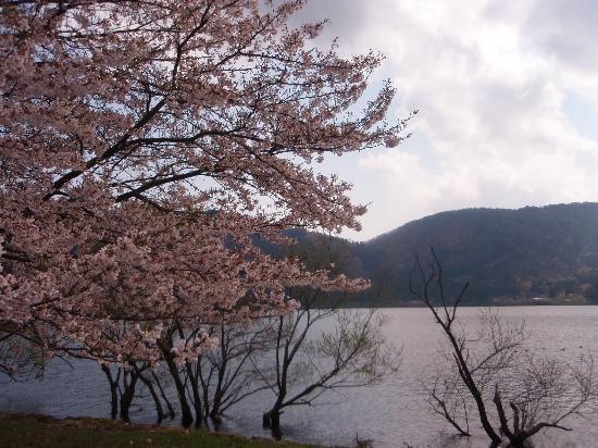 Lake Yogo: 桜も綺麗だった!