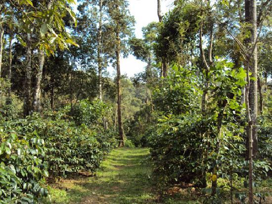 Giridarshini Home Stay: Coffe Estate