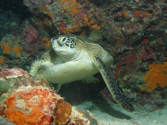 Kasai Village Dive & Spa Resort: Green Sea Turtle