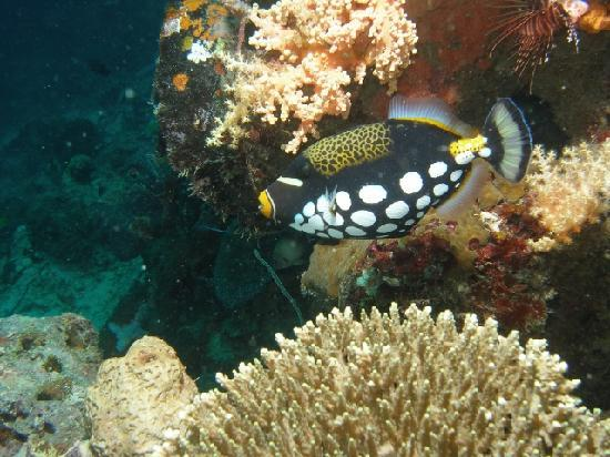 Kasai Village Dive & Spa Resort: Clown Triggerfish