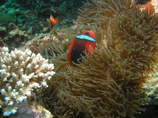 Kasai Village Dive & Spa Resort: Tomato Anemonefish