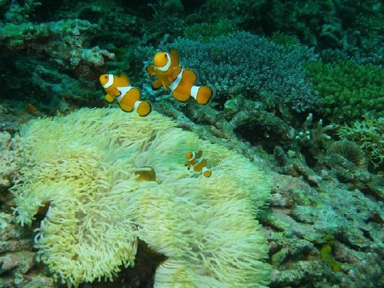 Kasai Village Dive & Spa Resort: False Clown Anemonefish