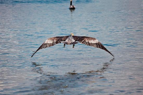 Hotel Playa Mazatlan: The pelicans join the fishermen every morning