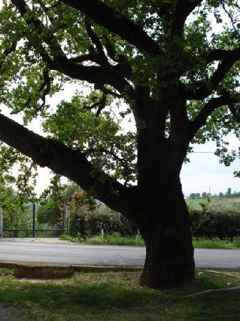 Quercia di Santa Margherita da Cortona: il grande albero