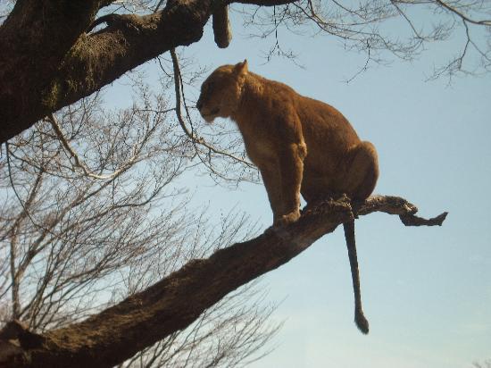 Susono, Japão: ソワソワしてたライオン