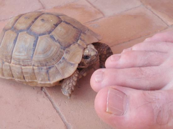 Riad Tizgui: friendly tortoise!