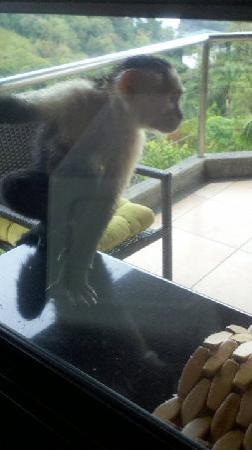 Tulemar Bungalows & Villas: Monkey outside the window trying to get my toast!