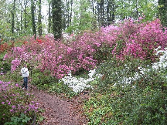 U.S. National Arboretum: 樹木園内の斜面を飾るツツジ