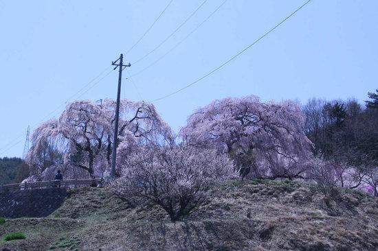Ina, Japan: しだれ桜1
