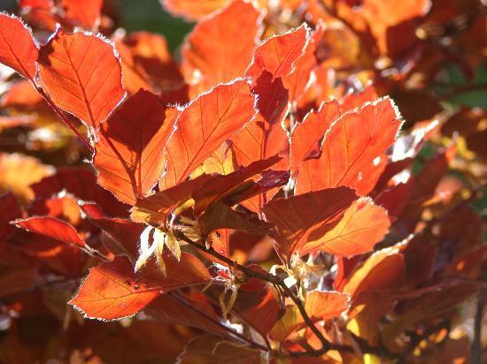 l'Arboretum National du Vallon de l'Aubonne: Fagus L. sylvatica L. 'purpureanana'