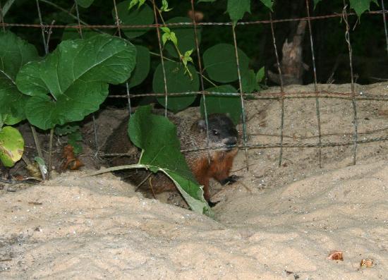 Le Petit Manoir du Sault Montmorency : Le Petit Manoir - una delle marmotte del giardino