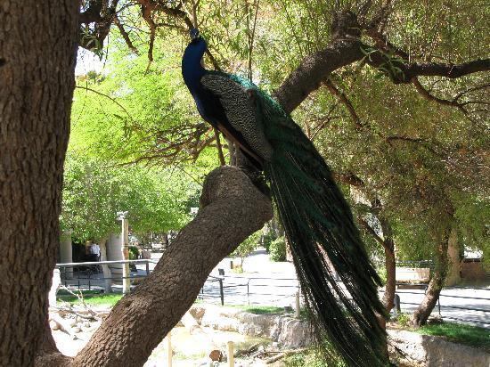 Reid Park Zoo : Peacock. Beautiful birds everywhere!