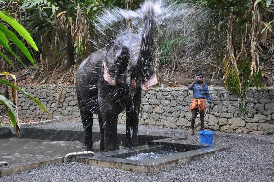 Kottayam, Indie: bathing elephant