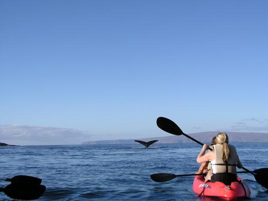 Hawaiian Paddle Sports: Whale Watching Tours