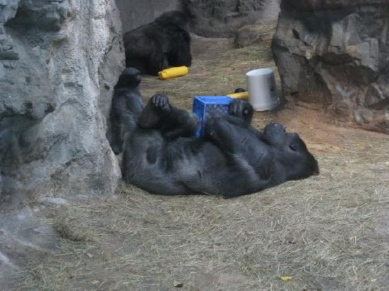 The Buffalo Zoo: Gorillas are a bit hit there