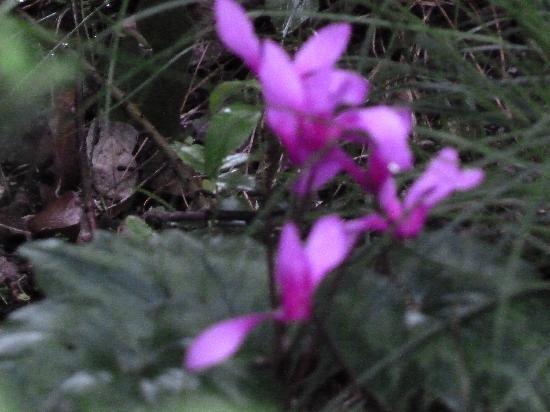 I Menhirs: Massen von Cyclamen blühen im Frühling in den Wäldern