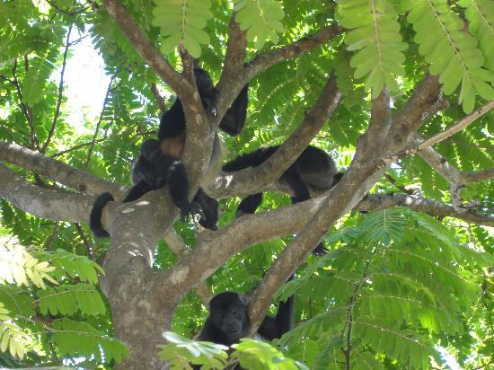 Allegro Papagayo: HOWLER MONKEYS