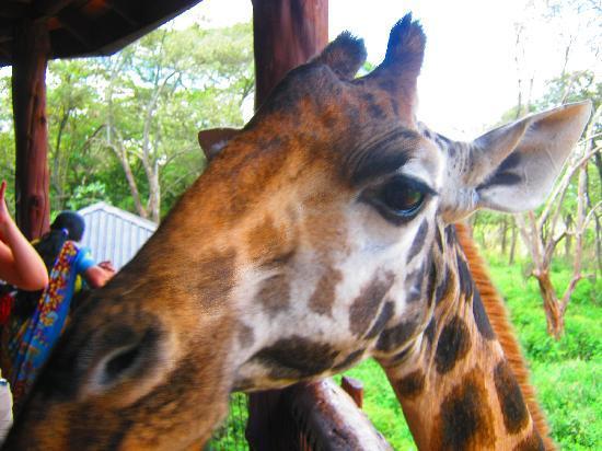 Giraffe Centre: Hello there!!!