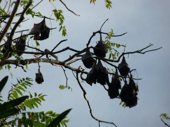 Wakatobi Dive Resort: Cat sized fruit bats on Tomia Induk Tour, no worries.. none on resort island