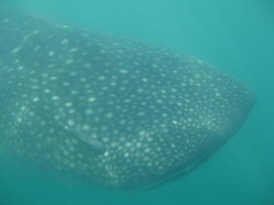 Santa Catalina, Panama: Whale Shark