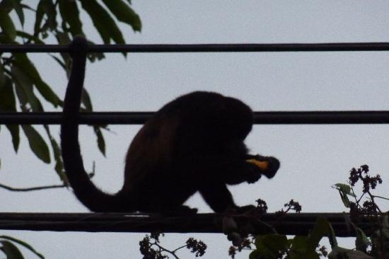 Hotel Horizontes de Montezuma: Affe in der Nähe des Hotels