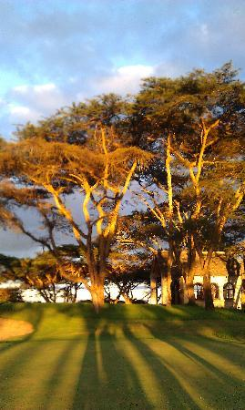 Mutare, Zimbabwe: Acacias on the golf course