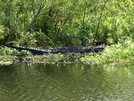 Alligator's Unlimited  Airboat Nature Tours: Now that's a big gator
