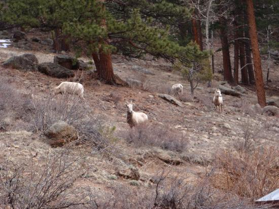 Timber Creek Chalets : Bighorn sheep on hill next to cabin