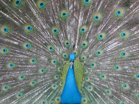 Museo Dolores Olmedo Patino: Peacock