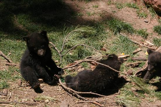 Уильямс, Аризона: Four very playful bear cubs