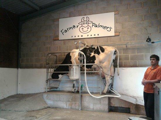 Farmer Palmer's Farm Park : Kate the Cow!