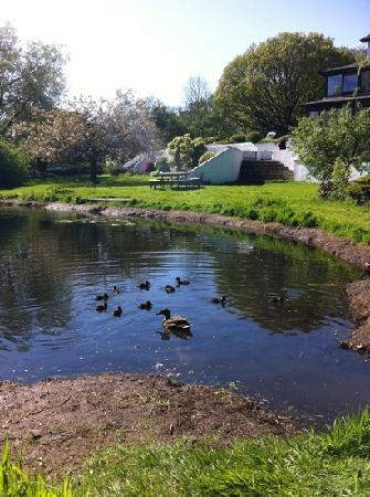 Crosthwaite, UK: tiny ducklings in the damson dene hotel pond