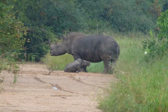 Ulusaba Private Game Reserve, Sydafrika: 2 week old baby rhino