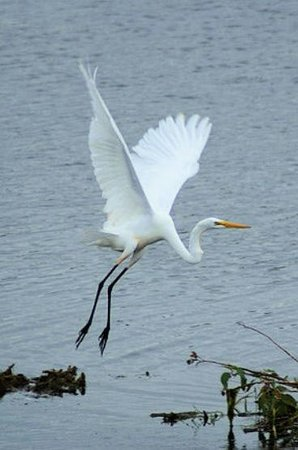 Cape May, NJ: Great Egret Photo by Jack Labor