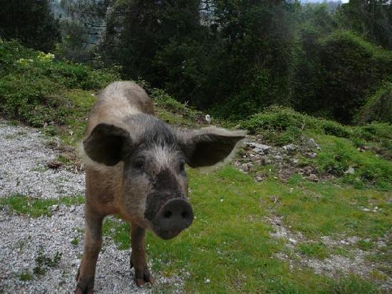 Les Gîtes du Cap Corse : Un futur saucisson tout mignon