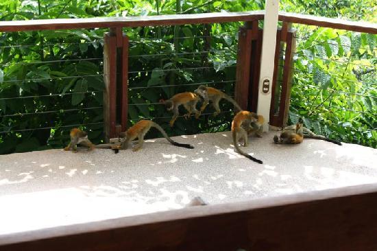 Tulemar Bungalows & Villas: Monkey Business at the Pool