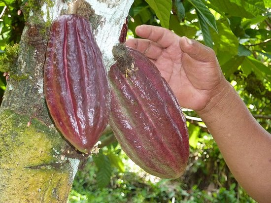 Bocas Town, Panama: The whole cacao fruit on a tree.