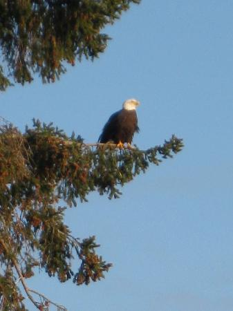 Otter's Cove Bed & Breakfast: Yes, The Eagles are that close