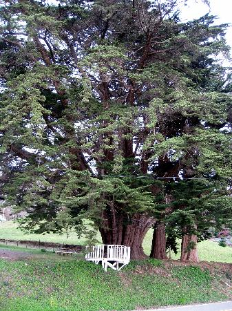 Brookings - Oregon's largest Monterey Cypress tree