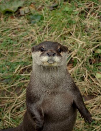 Heads of Ayr Farm Park : Asian otters :)