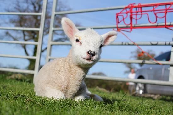 Spillers Farm: Little lamb