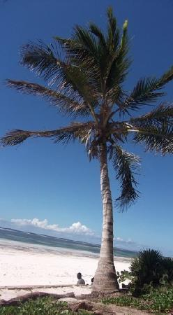 Diani Sea Resort: beautiful palm on the beach